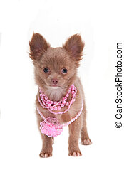 Glamour puppy - Chihhuahua puppy with pink necklace
