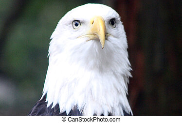 Bald Eagle Photo taken at Northwest Trek Wildlife Park, WA...