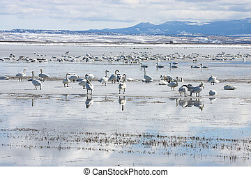 Tundra Swan Photo taken at Lower Klamath National Wildlife...