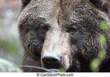 wa, Treck, foto, gräulich, Tierwelt,  Park, Nordwesten, genommen, bär