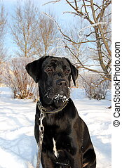 Black Labrador Retriever - Portrait of black labrador puppy...