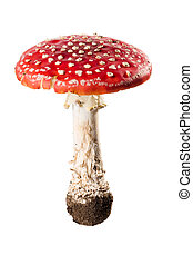 Mushroom - red poison mushroom close up studio shoot