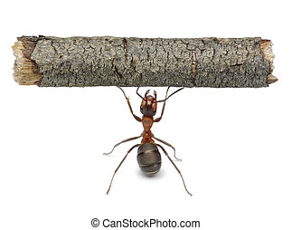 worker ant holding log, isolated - worker ant holding heavy...