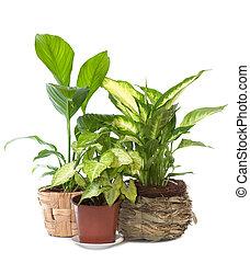 Group of window plant Syngonium podophyllum,Spathiphyllum...
