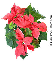 Beautiful red poinsettia plant isolated on white - Beautiful...