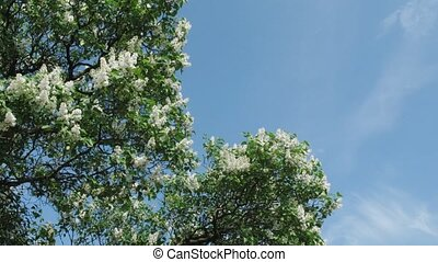 White and lilac lilac against the summer sky Time lapse