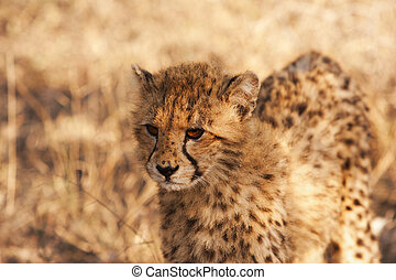 Cheetah Cub In The Wild - A young cheetah cub looking at the...