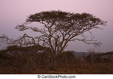 Acacia Tree At Dusk - An Acacia tree, sometimes referred to...