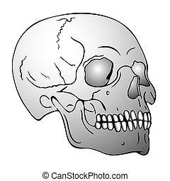 skull - vector