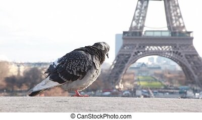 single pigeon against Eiffel Tower in Paris, France