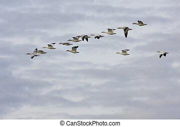 Snow Geese - Snow geese in flight. Edwyn B. Forsythe...
