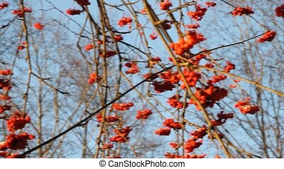 Red rowan. - Clusters of a red mountain ash against the dark...
