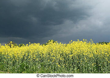 Rural Poland - Rapeseed flowers field and storm clouds over...
