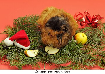 Christmas for guinea pig - Soft focus on head of abyssinian...