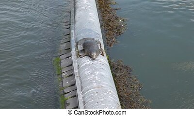 seagull waiting for something lying on top of concrete tube...