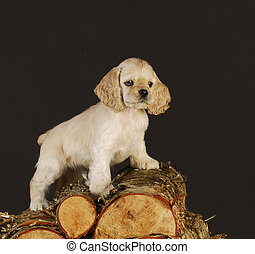 puppy climbing on wood pile - cocker spaniel puppy standing...