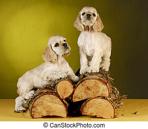 puppies climbing on wood - two cocker spaniel puppies...
