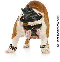 tough biker dog - english bulldog dressed up like a tough...
