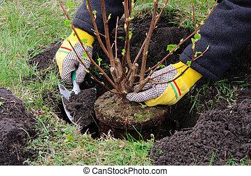planting a shrub 13