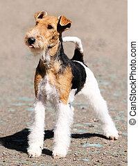 Fox terrier standing - Fox terrier dog standing over blurry...