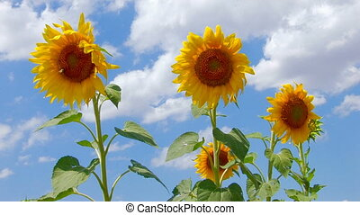 Beautiful yellow sunflowers