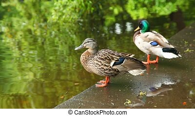 two ducks are standing near pond in  park