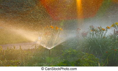 Sprinkler waters lush flower bed at sunset, Canon XH A1,...
