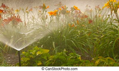 Sprinkler waters lush flower bed, closeup, Canon XH A1,...
