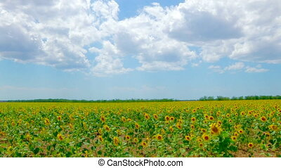 Panorama of Sunflower field and blue sky with white clouds,...