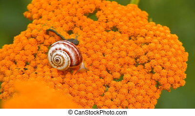 Snail crawling on yellow flower, closeup, Canon XH A1,...