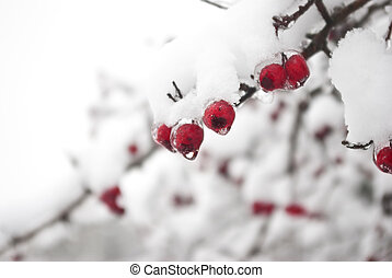Focus on winter berries - Red berries. The thin ice layer (a...