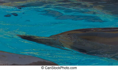 Dolphin diving in blue water,