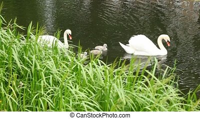 pair of white swans with nestlings on pond in park