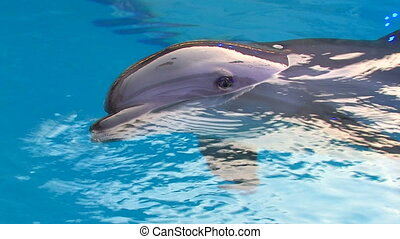 Dolphin swimming in blue water,