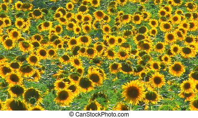 Panorama of Sunflower field, sunflowers swaying from the...