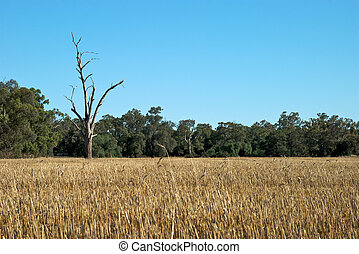 rural - a farm paddock of stubble after cropping