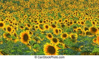 Sunflower landscape, Canon XH A1, 1080p, 25fps, progressive...