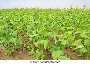 cultivated Tobacco 23