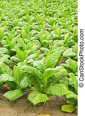 cultivated Tobacco 30