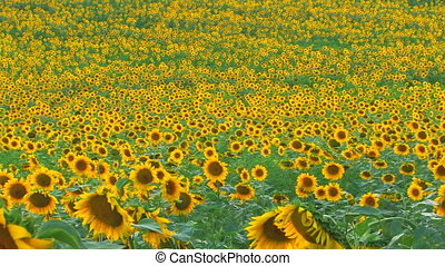 Panorama of Sunflower field