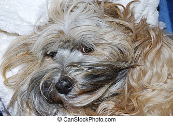 Tibetan Terrier - Portrait of a tibetan terrier dog