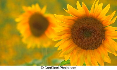 Two beautiful yellow sunflowers