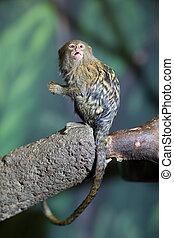 lindo, primer plano, muy, diminuto, mono tití, pigmeo,...