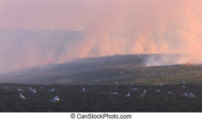 Birds near the burning meadow