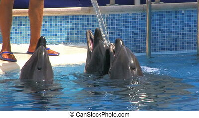 Dolphins and Animal Trainer, closeup, Canon XH A1, 1080p,...