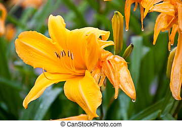 Water Dripping From Orange Lillies - Raindrops dripping from...