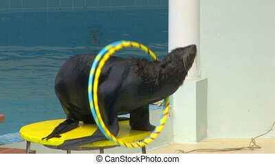 Fur seal playing with hoops