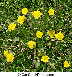 Dandelion - The dandelion grows on a lawn The dorsal view