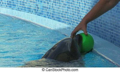Peforming Dolphin playing with green ball, closeup, Canon XH...