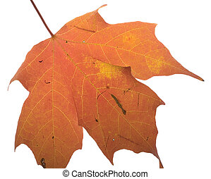 Colorful leaf - Bright orange and yellow leaf with...